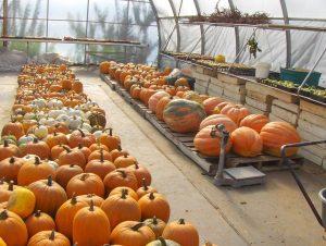 gg-pumpkins